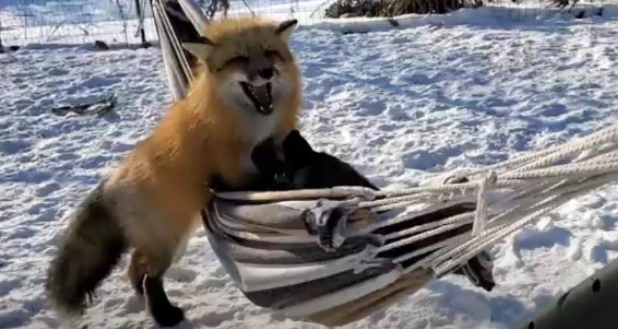 Is hammock camping safe - coyote attaching hammock